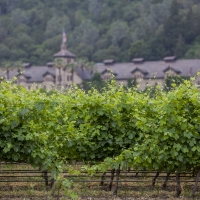 Vineyards in front of the historic stone building of The Culinary Institute of America at Greystone in St. Helena, CA.